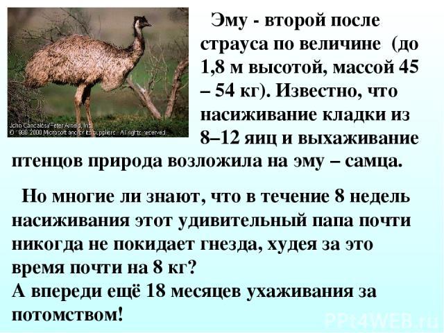 Эму - второй после страуса по величине (до 1,8 м высотой, массой 45 – 54 кг). Известно, что насиживание кладки из 8–12 яиц и выхаживание птенцов природа возложила на эму – самца. Но многие ли знают, что в течение 8 недель насиживания этот удивительн…