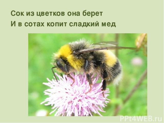 Сок из цветков она берет И в сотах копит сладкий мед