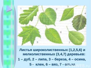 Листья широколиственных (1,2,5,6) и мелколиственных (3,4,7) деревьев: 1 – дуб, 2