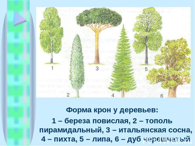 Форма крон у деревьев: 1 – береза повислая, 2 – тополь пирамидальный, 3 – итальянская сосна, 4 – пихта, 5 – липа, 6 – дуб черешчатый