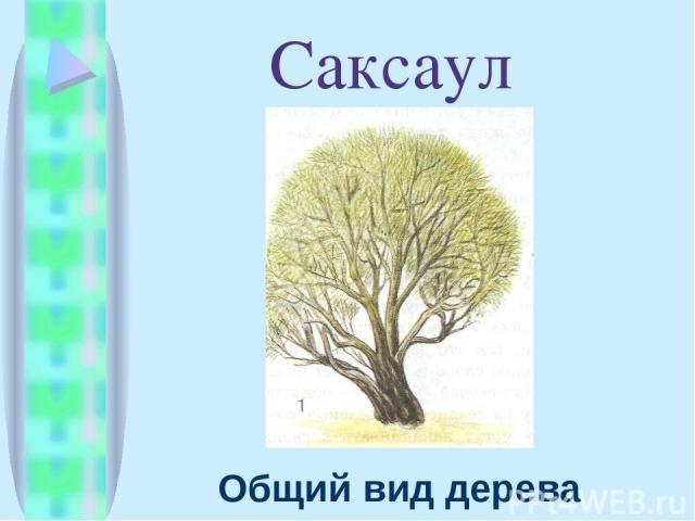 Саксаул Общий вид дерева