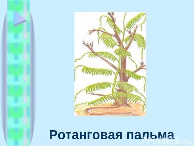 Ротанговая пальма