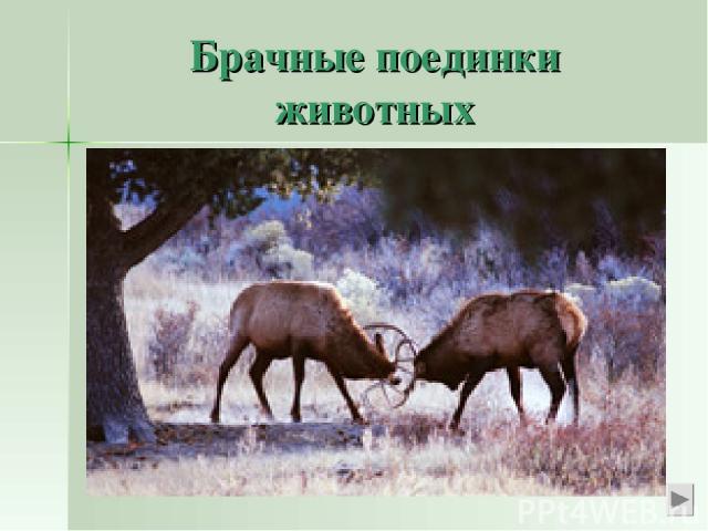 Брачные поединки животных Мы знаем о любовных поединках у парнокопытных животных – лоси и олени могут погибнуть, сцепившись рогами в брачном турнире.