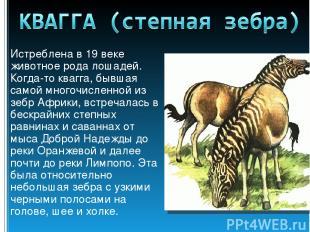 Истреблена в 19 веке животное рода лошадей. Когда-то квагга, бывшая самой многоч