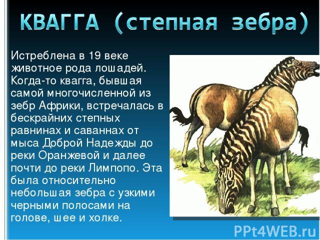 Истреблена в 19 веке животное рода лошадей. Когда-то квагга, бывшая самой многочисленной из зебр Африки, встречалась в бескрайних степных равнинах и саваннах от мыса Доброй Надежды до реки Оранжевой и далее почти до реки Лимпопо. Эта была относитель…