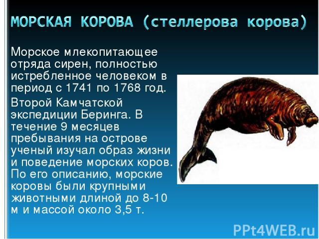 Морское млекопитающее отряда сирен, полностью истребленное человеком в период с 1741 по 1768 год. Второй Камчатской экспедиции Беринга. В течение 9 месяцев пребывания на острове ученый изучал образ жизни и поведение морских коров. По его описанию, м…
