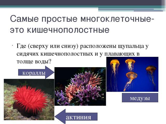 Самые простые многоклеточные- это кишечнополостные Где (сверху или снизу) расположены щупальца у сидячих кишечнополостных и у плавающих в толще воды? кораллы актиния медузы