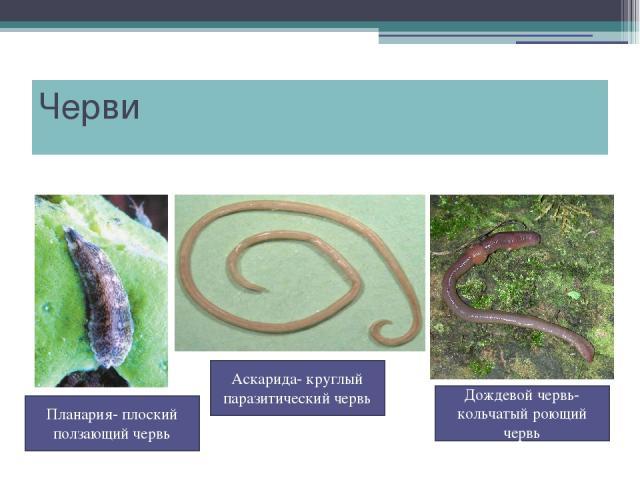 Черви Дождевой червь- кольчатый роющий червь Планария- плоский ползающий червь Аскарида- круглый паразитический червь