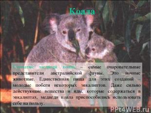 Сумчатые медведи коала – самые очаровательные представители австралийской фауны.