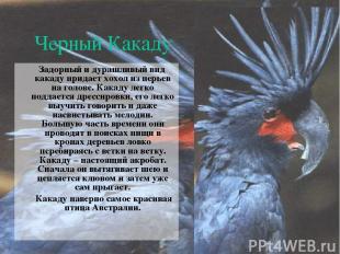 Черный Какаду Задорный и дурашливый вид какаду придает хохол из перьев на голове