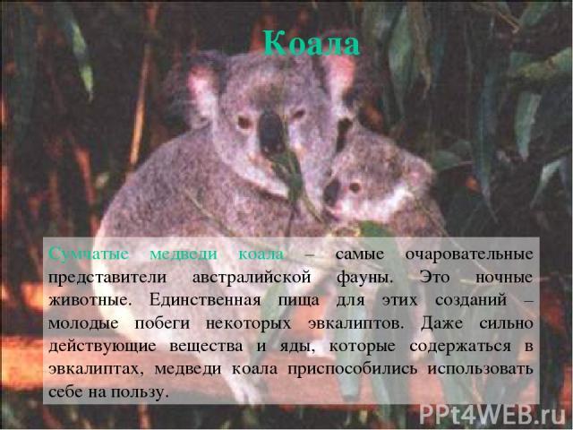 Сумчатые медведи коала – самые очаровательные представители австралийской фауны. Это ночные животные. Единственная пища для этих созданий – молодые побеги некоторых эвкалиптов. Даже сильно действующие вещества и яды, которые содержаться в эвкалиптах…