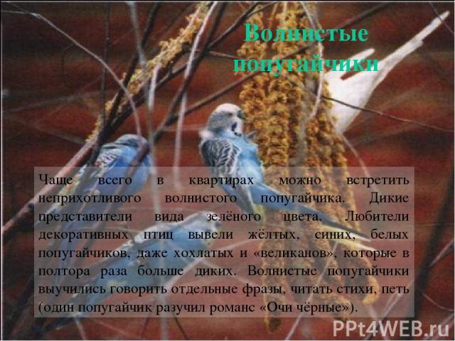 Чаще всего в квартирах можно встретить неприхотливого волнистого попугайчика. Дикие представители вида зелёного цвета. Любители декоративных птиц вывели жёлтых, синих, белых попугайчиков, даже хохлатых и «великанов», которые в полтора раза больше ди…