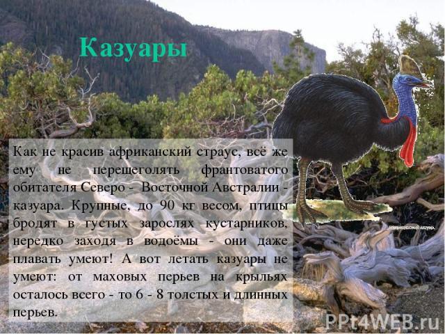 Казуары Как не красив африканский страус, всё же ему не перещеголять франтоватого обитателя Северо - Восточной Австралии - казуара. Крупные, до 90 кг весом, птицы бродят в густых зарослях кустарников, нередко заходя в водоёмы - они даже плавать умею…