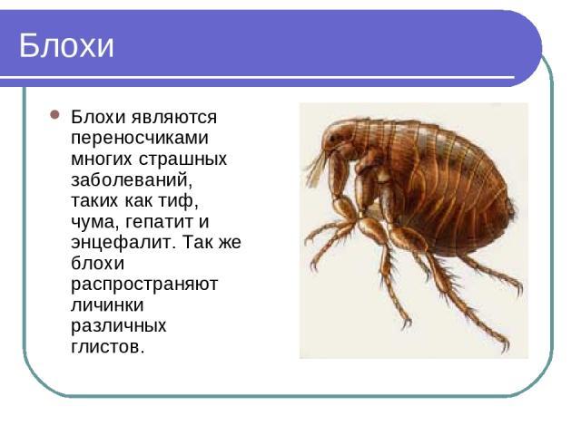 Блохи Блохи являются переносчиками многих страшных заболеваний, таких как тиф, чума, гепатит и энцефалит. Так же блохи распространяют личинки различных глистов.