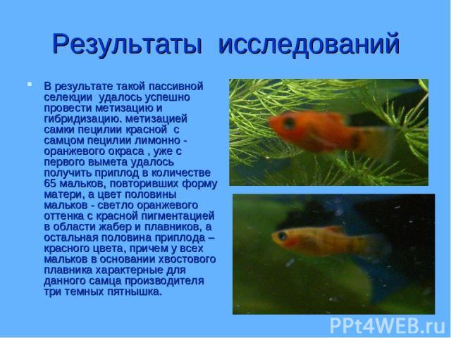 Результаты исследований В результате такой пассивной селекции удалось успешно провести метизацию и гибридизацию. метизацией самки пецилии красной с самцом пецилии лимонно - оранжевого окраса , уже с первого вымета удалось получить приплод в количест…