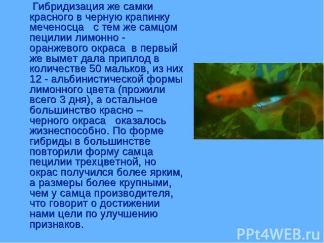Гибридизация же самки красного в черную крапинку меченосца с тем же самцом пецилии лимонно - оранжевого окраса в первый же вымет дала приплод в количестве 50 мальков, из них 12 - альбинистической формы лимонного цвета (прожили всего 3 дня), а осталь…