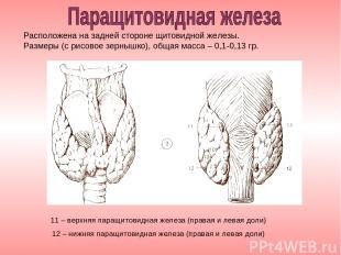 11 – верхняя паращитовидная железа (правая и левая доли) 12 – нижняя паращитовид