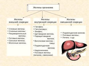 Железы внутренней секреции Железы смешанной секреции Железы внешней секреции Сле