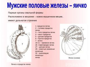 Парные органы овальной формы Расположено в мошонке – кожно-мышечном мешке, имеют
