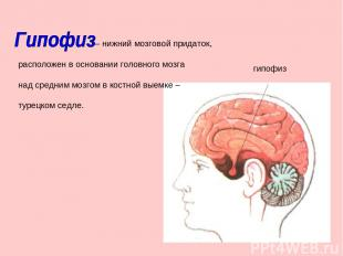 – нижний мозговой придаток, расположен в основании головного мозга над средним м