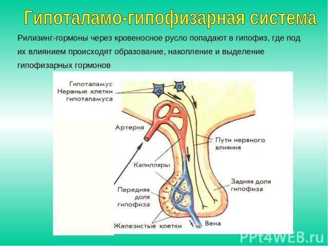 Рилизинг-гормоны через кровеносное русло попадают в гипофиз, где под их влиянием происходят образование, накопление и выделение гипофизарных гормонов