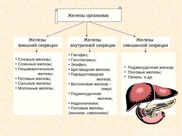 Железы внутренней секреции Железы смешанной секреции Железы внешней секреции Слезные железы; Слюнные железы; Пищеварительные железы; Потовые железы; Сальные железы; Молочные железы. Гипофиз; Гипоталамуз; Эпифиз; Щитовидная железа; Паращитовидная жел…