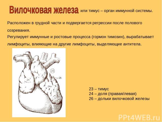 или тимус – орган иммунной системы. Расположен в грудной части и подвергается регрессии после полового созревания. 23 – тимус 24 – доля (правая/левая) 26 – дольки вилочковой железы Регулирует иммунные и ростовые процесса (гормон тимозин), вырабатыва…