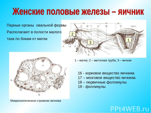 Парные органы овальной формы Располагают в полости малого таза по бокам от матки 1 – матка; 2 – маточная труба; 3 – яичник 1 2 3 Микроскопическое строение яичника 16 - корковое вещество яичника 17 – мозговое вещество яичника 18 – первичные фолликулы…