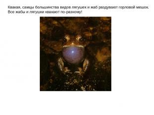 Квакая, самцы большинства видов лягушек и жаб раздувают горловой мешок. Все жабы