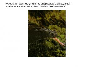Жабы и лягушки могут быстро выбрасывать вперёд свой длинный и липкий язык, чтобы