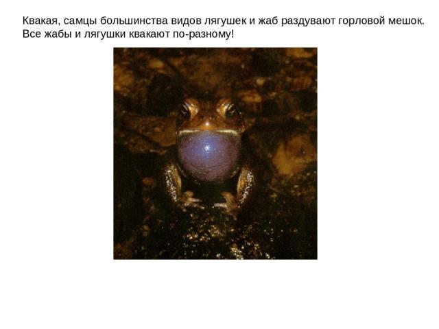 Квакая, самцы большинства видов лягушек и жаб раздувают горловой мешок. Все жабы и лягушки квакают по-разному!