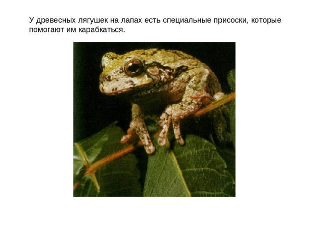 У древесных лягушек на лапах есть специальные присоски, которые помогают им карабкаться.