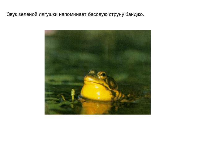 Звук зеленой лягушки напоминает басовую струну банджо.
