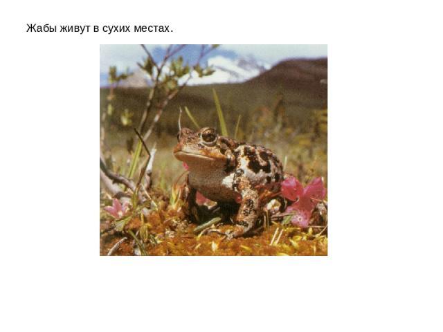 Жабы живут в сухих местах.