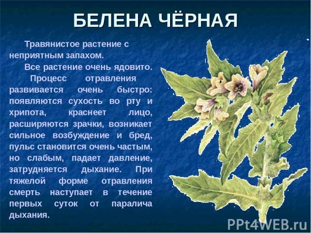 БЕЛЕНА ЧЁРНАЯ Травянистое растение с неприятным запахом. Все растение очень ядовито. Процесс отравления развивается очень быстро: появляются сухость во рту и хрипота, краснеет лицо, расширяются зрачки, возникает сильное возбуждение и бред, пульс ста…