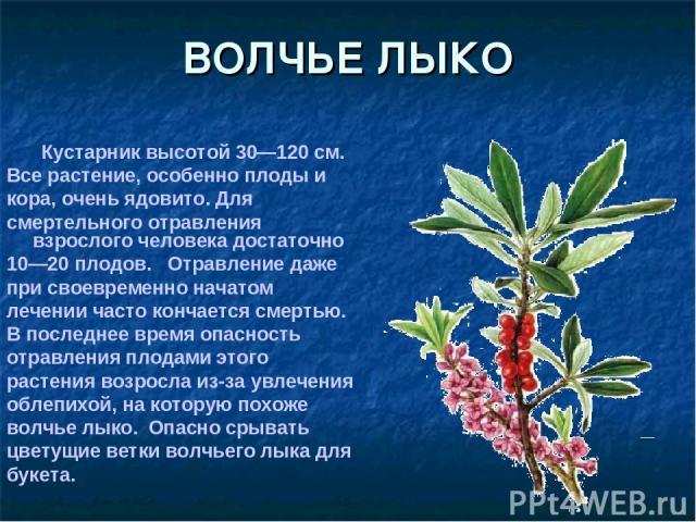 ВОЛЧЬЕ ЛЫКО Кустарник высотой 30—120 см. Все растение, особенно плоды и кора, очень ядовито. Для смертельного отравления взрослого человека достаточно 10—20 плодов. Отравление даже при своевременно начатом лечении часто кончается смертью. В последне…