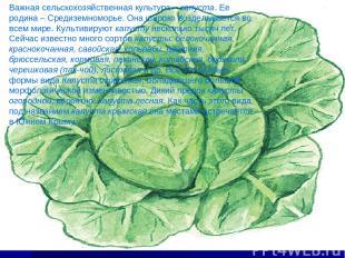 Важная сельскохозяйственная культура – капуста. Ее родина – Средиземноморье. Она