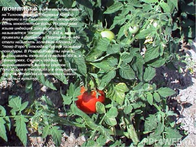 томаты в диком виде обитают на Тихоокеанском побережье Южной Америки и на Галапагосских островах. Есть многолетние виды. На местном языке индейцев это растение называется