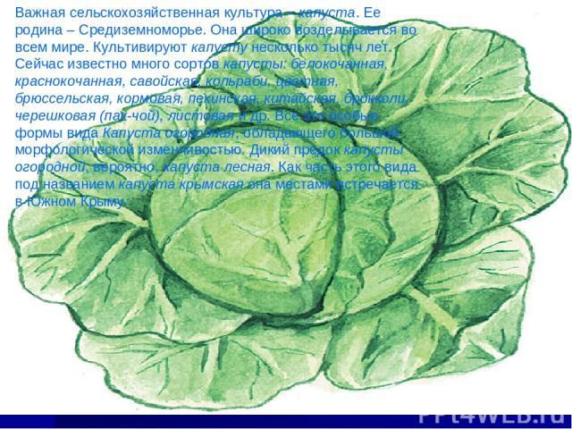 Важная сельскохозяйственная культура – капуста. Ее родина – Средиземноморье. Она широко возделывается во всем мире. Культивируют капусту несколько тысяч лет. Сейчас известно много сортов капусты: белокочанная, краснокочанная, савойская, кольраби, цв…