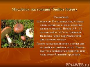 Маслёнок настоящий (Suillus luteus) Съедобный. Шляпка до 10 см, выпуклая, Кожица