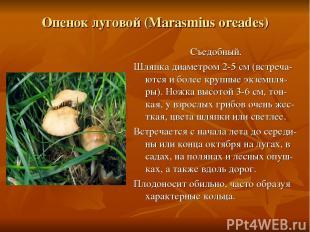 Опенок луговой (Marasmius oreades) Съедобный. Шляпка диаметром 2-5 см (встреча-ю