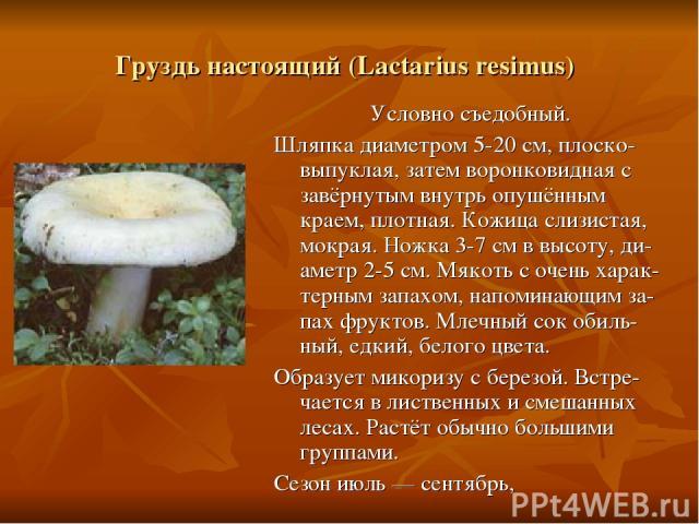 Груздь настоящий (Lactarius resimus) Условно съедобный. Шляпка диаметром 5-20 см, плоско-выпуклая, затем воронковидная с завёрнутым внутрь опушённым краем, плотная. Кожица слизистая, мокрая. Ножка 3-7 см в высоту, ди-аметр 2-5 см. Мякоть с очень хар…