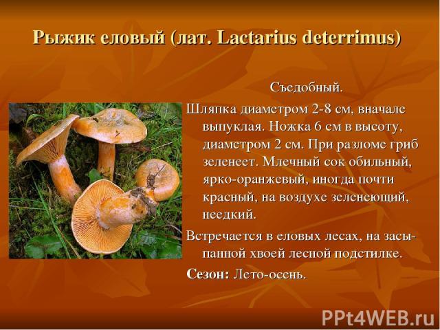 Рыжик еловый (лат. Lactarius deterrimus) Съедобный. Шляпка диаметром 2-8 см, вначале выпуклая. Ножка 6 см в высоту, диаметром 2 см. При разломе гриб зеленеет. Млечный сок обильный, ярко-оранжевый, иногда почти красный, на воздухе зеленеющий, неедкий…