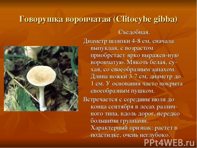 Говорушка ворончатая (Clitocybe gibba) Съедобная. Диаметр шляпки 4-8 см, сначала выпуклая, с возрастом приобретает ярко выражен-ную ворончатую. Мякоть белая, су-хая, со своеобразным запахом. Длина ножки 3-7 см, диаметр до 1 см. У основания часто пок…