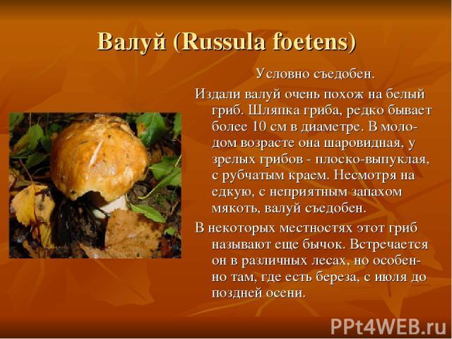 Валуй (Russula foetens) Условно съедобен. Издали валуй очень похож на белый гриб. Шляпка гриба, редко бывает более 10 см в диаметре. В моло-дом возрасте она шаровидная, у зрелых грибов - плоско-выпуклая, с рубчатым краем. Несмотря на едкую, с неприя…