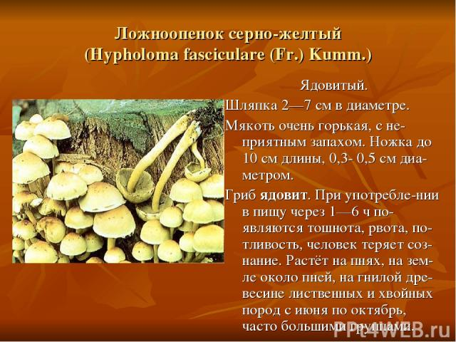 Ложноопенок серно-желтый (Hypholoma fasciculare (Fr.) Kumm.) Ядовитый. Шляпка 2—7 см в диаметре. Мякоть очень горькая, с не-приятным запахом. Ножка до 10 см длины, 0,3- 0,5 см диа-метром. Гриб ядовит. При употребле-нии в пищу через 1—6 ч по-являются…