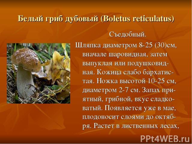 Белый гриб дубовый (Boletus reticulatus) Съедобный. Шляпка диаметром 8-25 (30)см, вначале шаровидная, затем выпуклая или подушковид-ная. Кожица слабо бархатис-тая. Ножка высотой 10-25 см, диаметром 2-7 см. Запах при-ятный, грибной, вкус сладко-ватый…