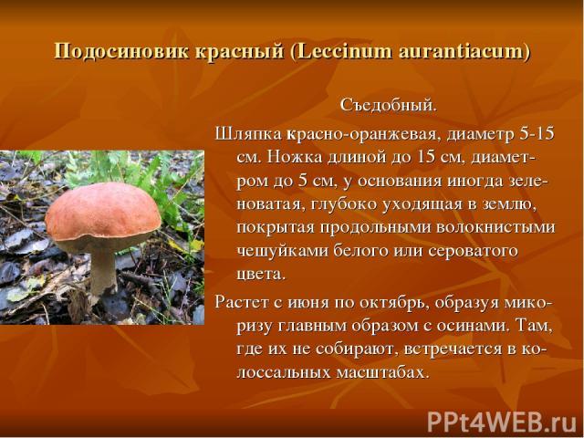 Подосиновик красный (Leccinum aurantiacum) Съедобный. Шляпка красно-оранжевая, диаметр 5-15 см. Ножка длиной до 15 см, диамет-ром до 5 см, у основания иногда зеле-новатая, глубоко уходящая в землю, покрытая продольными волокнистыми чешуйками белого …