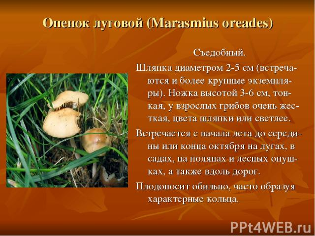 Опенок луговой (Marasmius oreades) Съедобный. Шляпка диаметром 2-5 см (встреча-ются и более крупные экземпля-ры). Ножка высотой 3-6 см, тон-кая, у взрослых грибов очень жес-ткая, цвета шляпки или светлее. Встречается с начала лета до середи-ны или к…