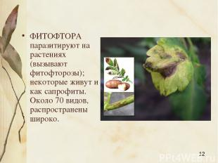 ФИТОФТОРА паразитируют на растениях (вызывают фитофторозы); некоторые живут и ка